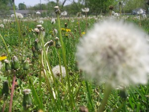 dandelion-forest